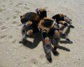Brachypelma smithi tarantula.jpg